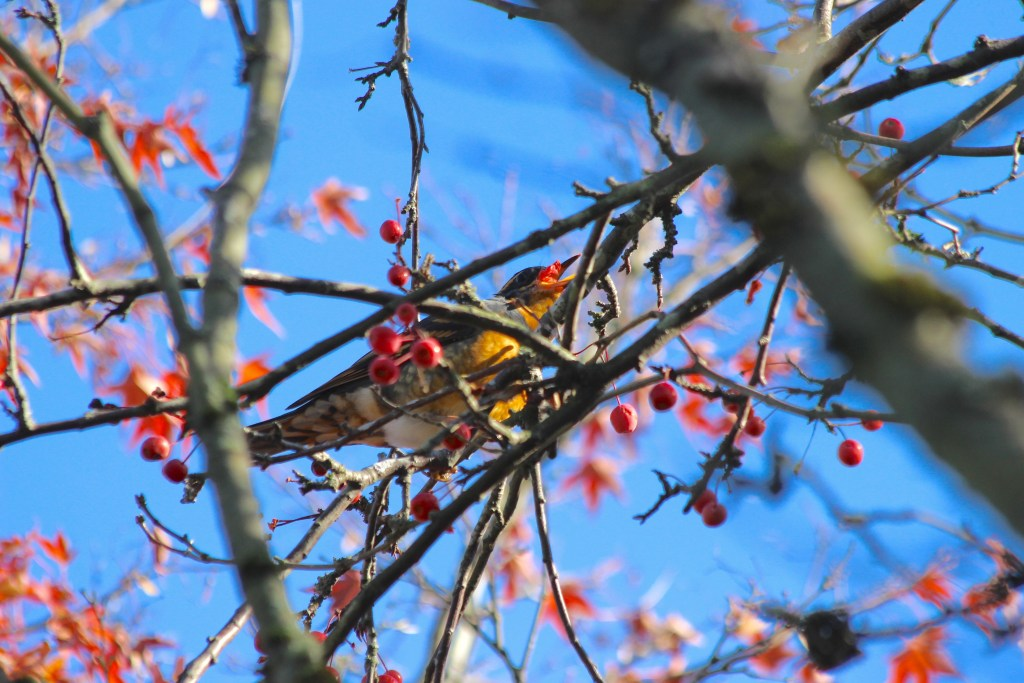 A Varied Thrush enjoys berries for lunch