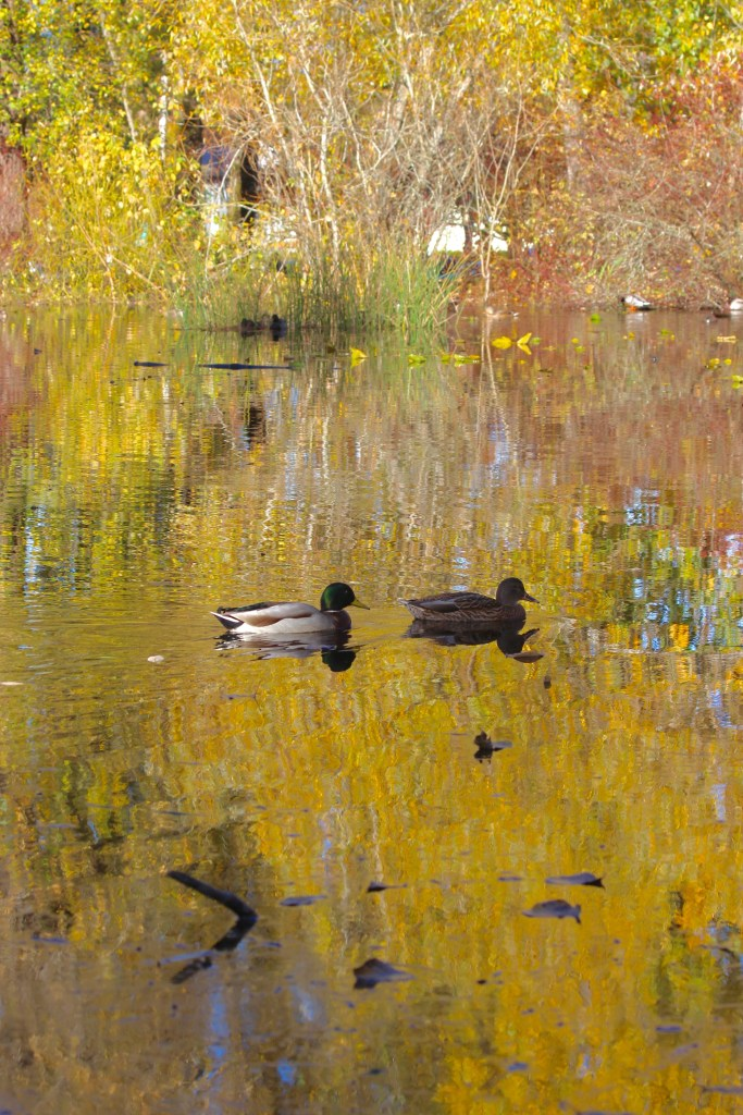 A pair of Mallard drift by in front of changing leaves on the eastern pond at QE