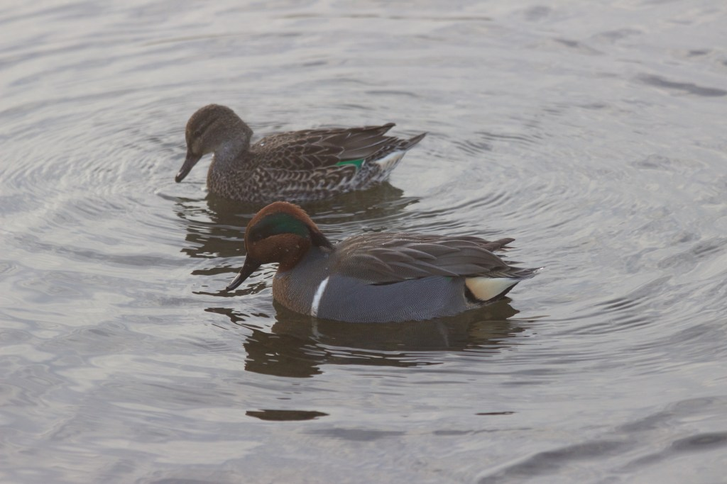 A pair of Green-winged Teal