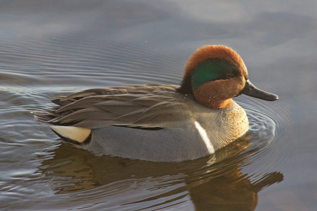 Note the clean white stripe typical of a male (American) Green-winged Teal