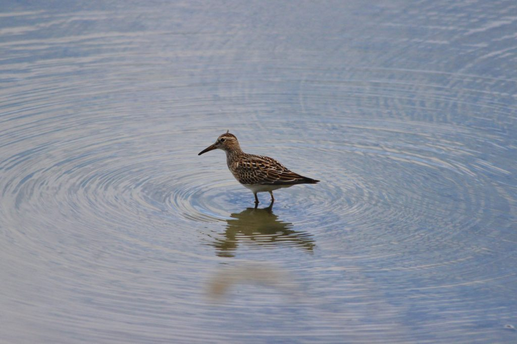 Here's a nicer one of a Sharp-tailed Sandpiper from another year