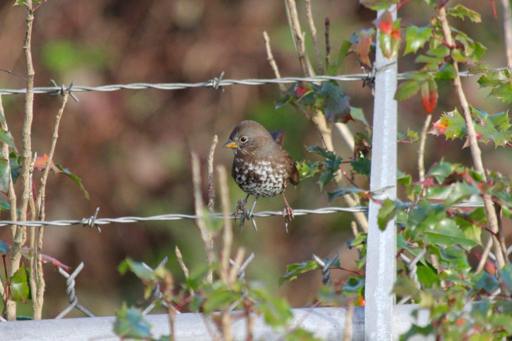 Another Fox Sparrow in Vancouver