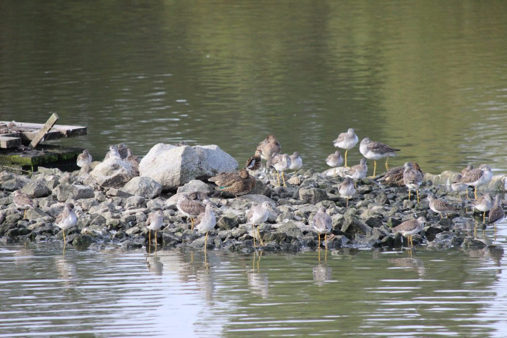 Find the Sharp-tailed Sandpiper!