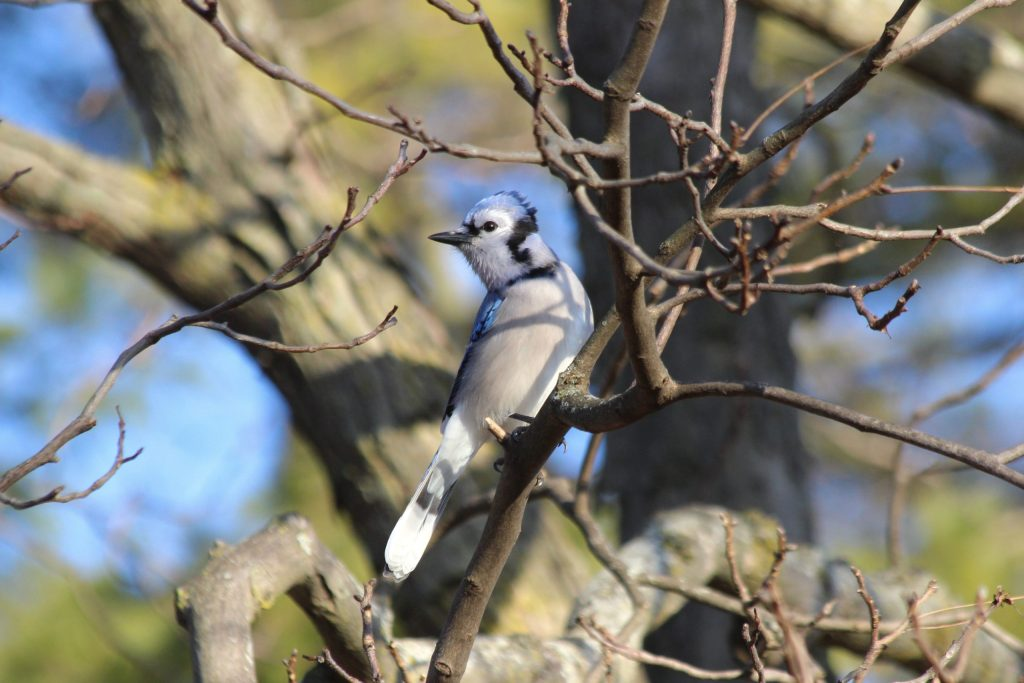 A Blue Jay at Lemoine Point Conservation Area