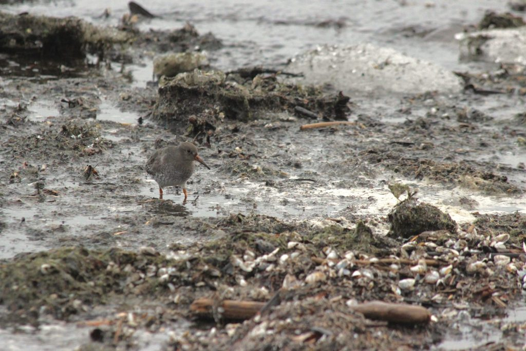 Purple Sandpiper at Owen Point