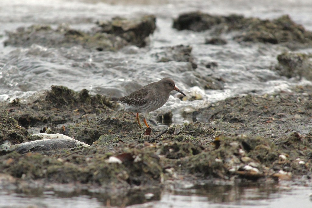 Purple Sandpiper at Presqu'ile Provincial Park, ON in December