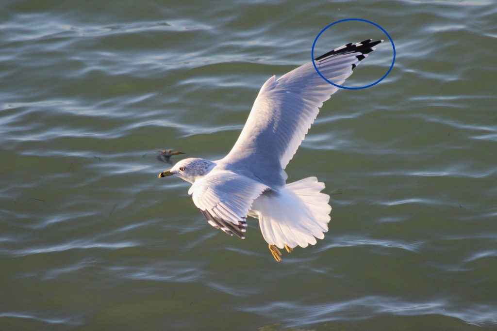 Adult Ring-billed Gull in flight