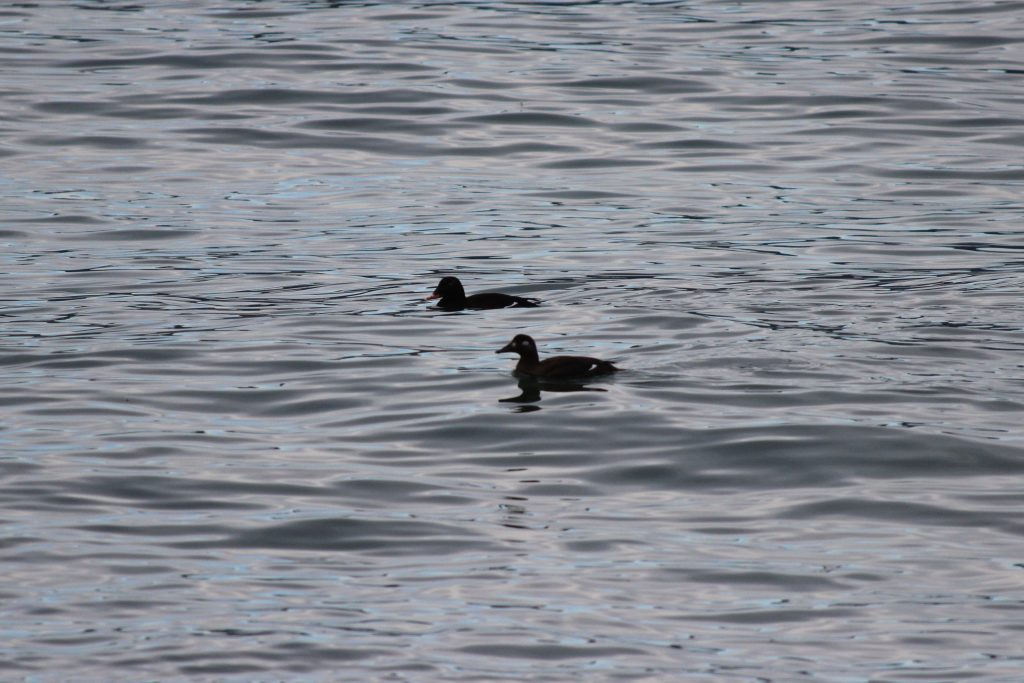 A distant pair of White-winged Scoter