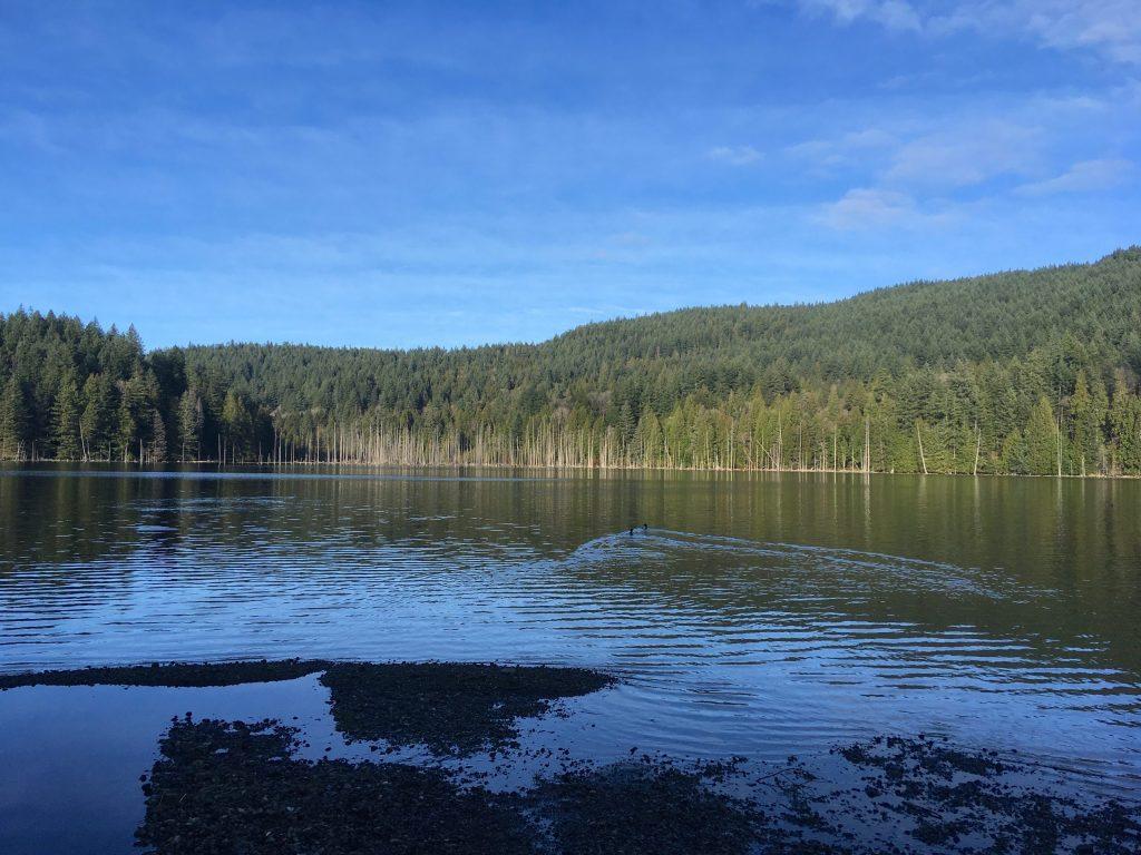 Two Common Merganser set off across Killarney Lake