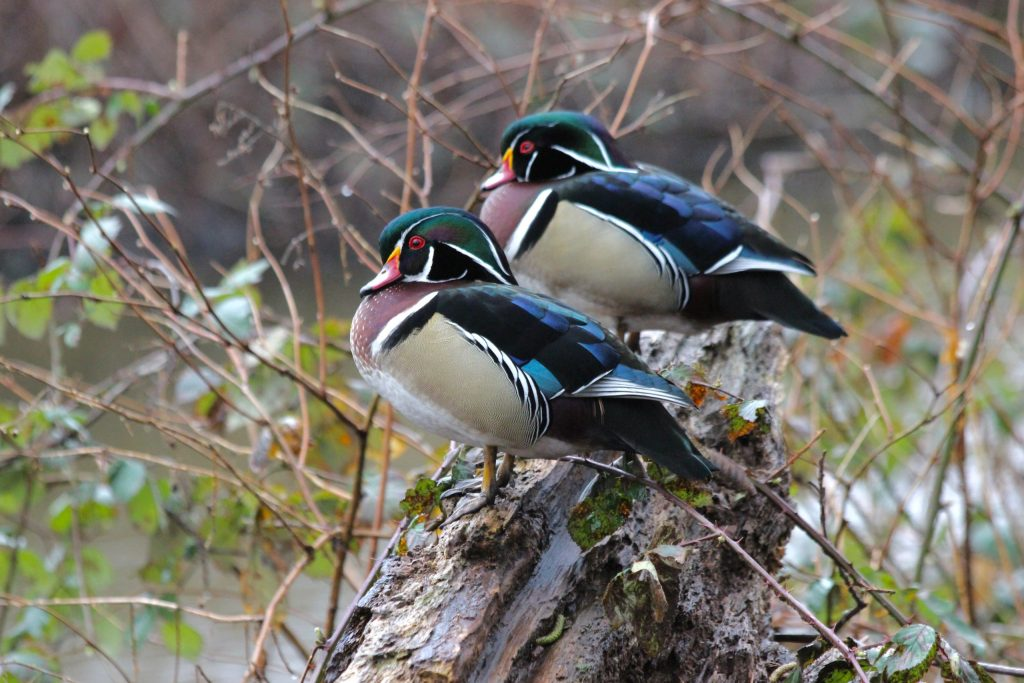 Two male Wood Duck at Burnaby Lake