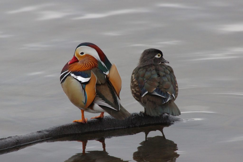 The odd couple: a (likely escaped) Mandarin Duck and his female Wood Duck friend
