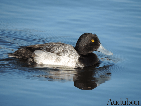 Here is a Greater Scaup from Audubon's site (I don't have a good shot yet). Note the very different head shape and posture.