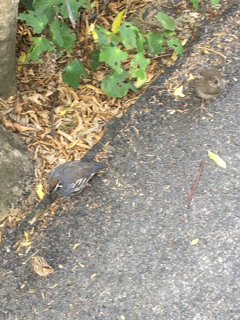 This California Quail family walked right under me and my phone camera
