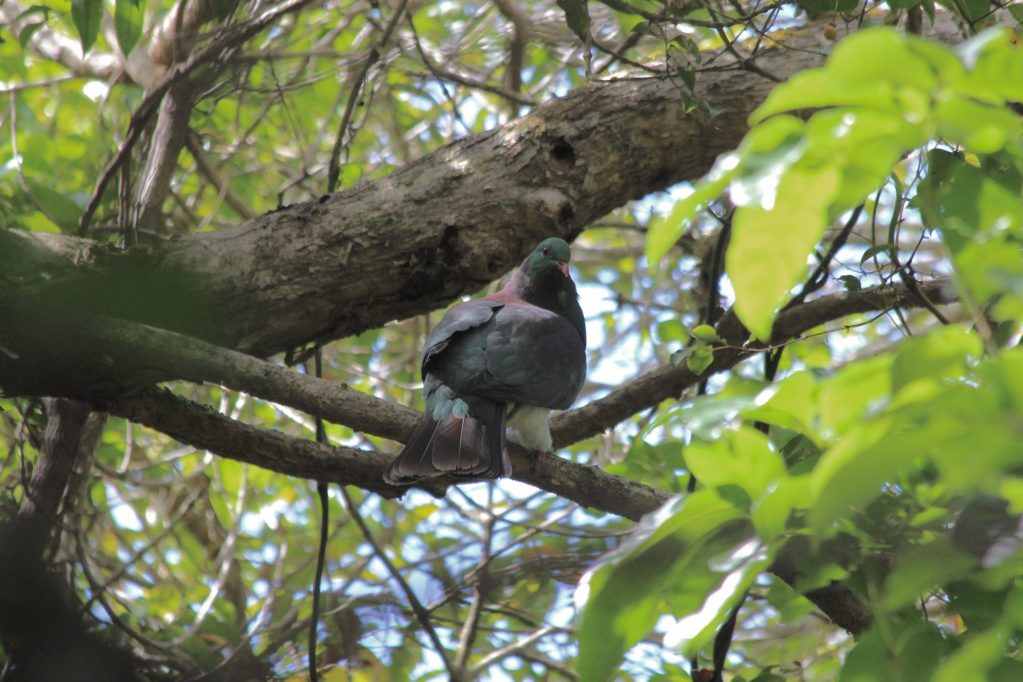 A New Zealand Pigeon in the shade