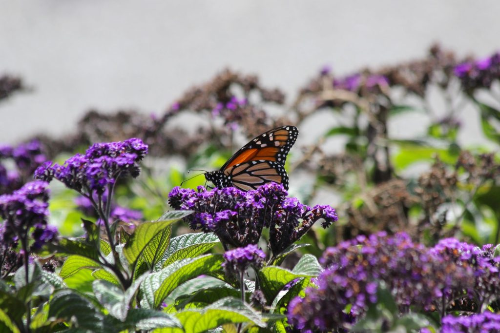 Monarch Butterfly at Wellington Botanical Gardens