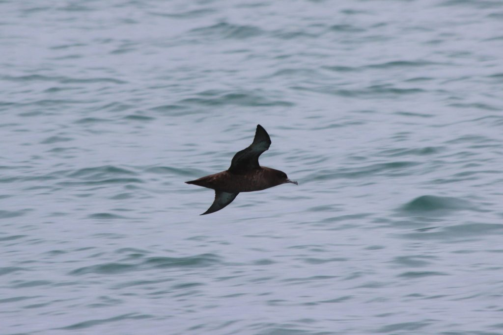 """Sooty Shearwater: note the """"flash of silver"""" on the underwing"""