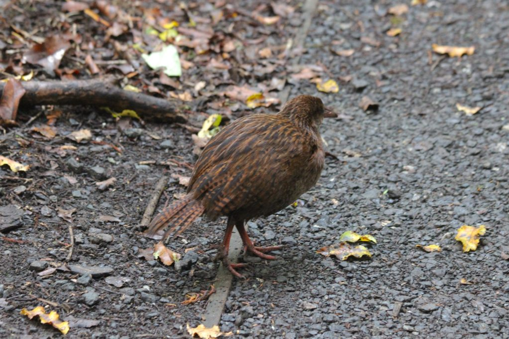 A Weka refuses to pose for a decent photo