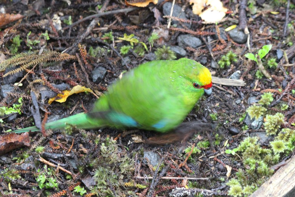 This Yellow-crowned Parakeet was so busy scraping grubs out of the soil, he was hard to photograph in the dim light