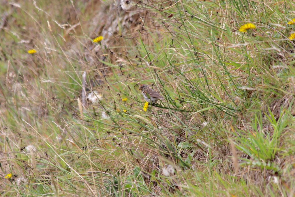 A Lesser Redpoll taken later on the trip