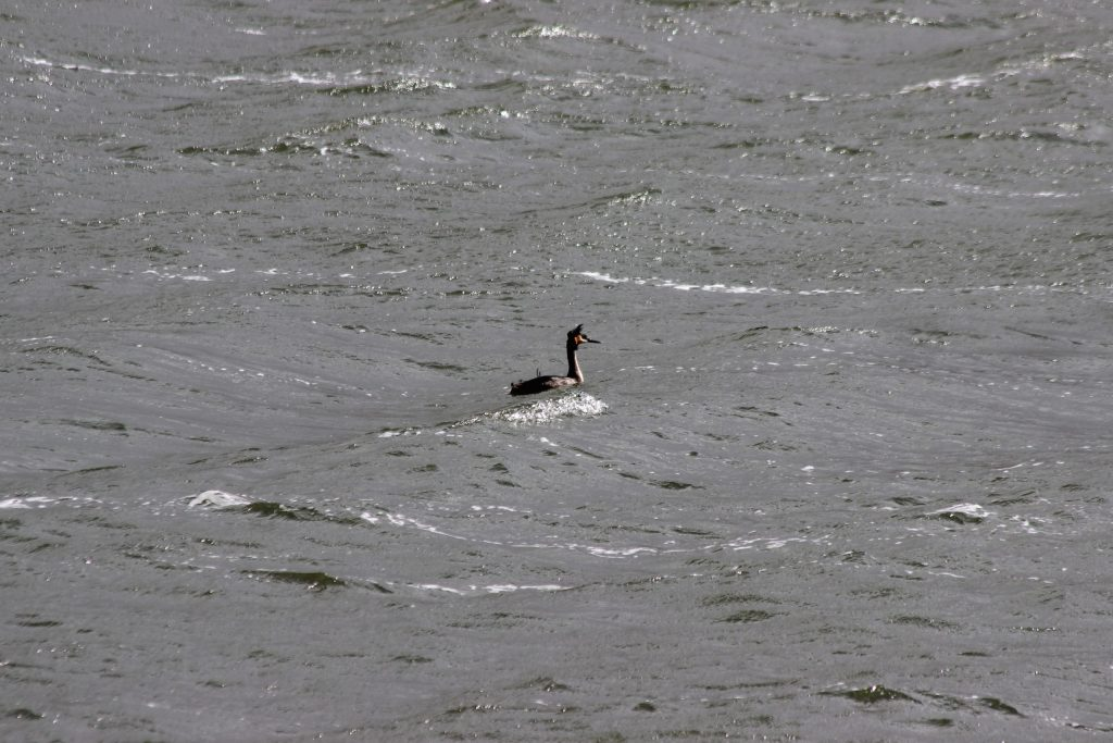 A Great Crested Grebe on windy Lake Hayes