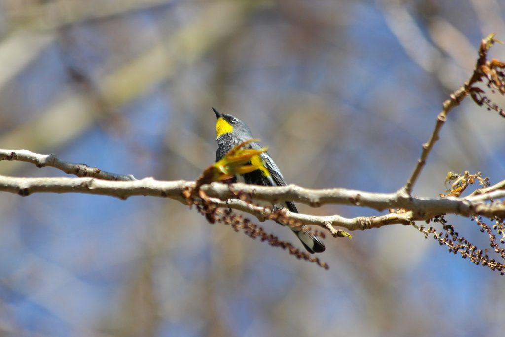Yellow-rumped Warbler: male, Audubon's