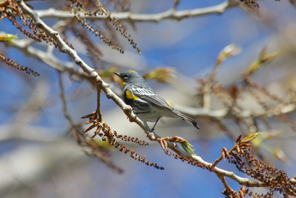 A breeding male Yellow-rumped (Audubon's) Warbler at Iona