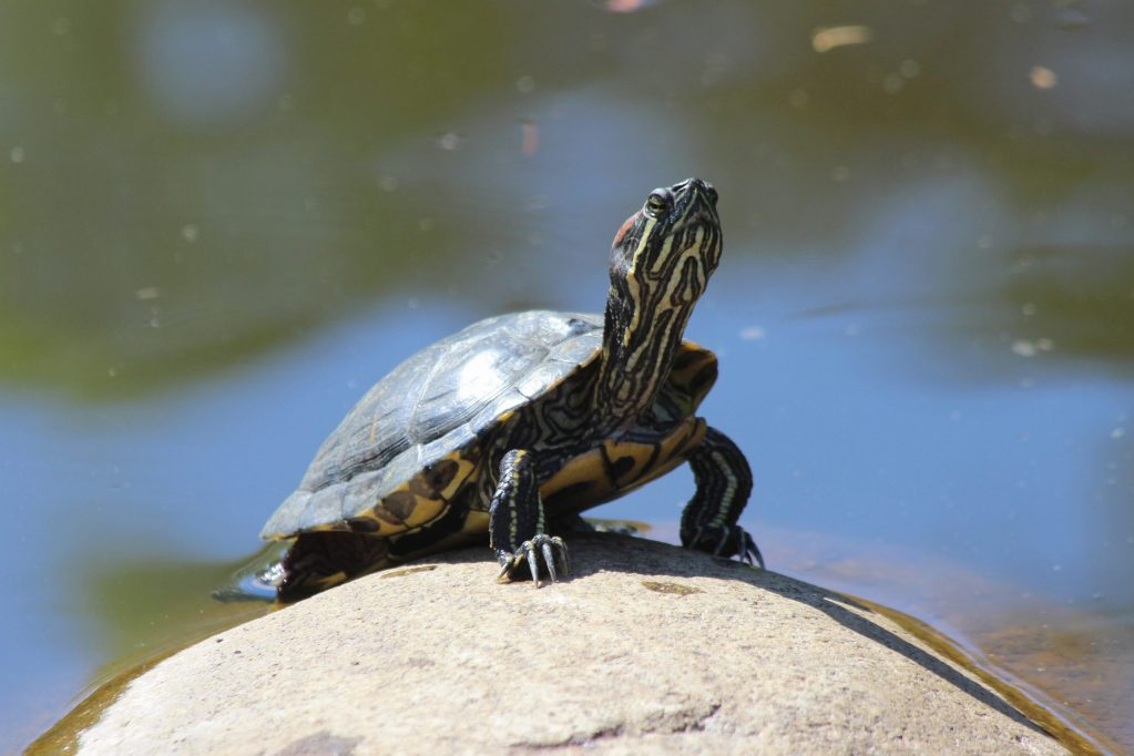 Painted Turtle at QE Park (introduced)