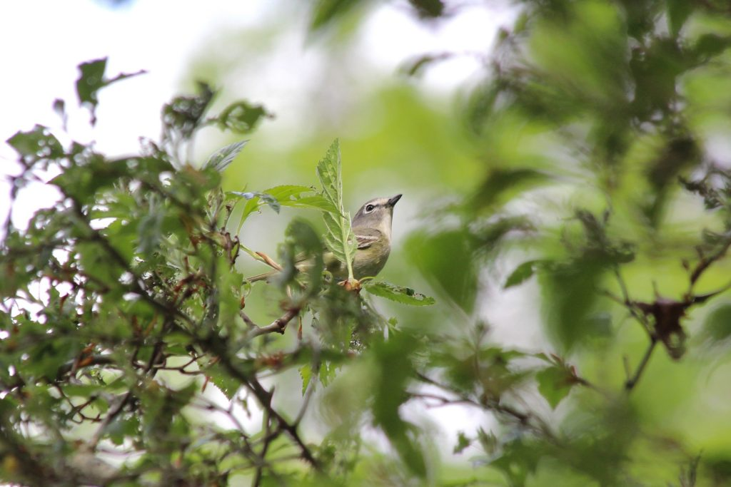 Cassin's Vireo at QE Park