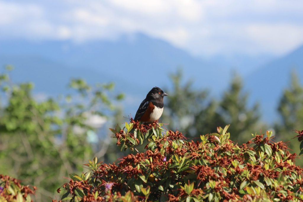 A Spotted Towhee enjoys a view of the north shore mountains from the upper gardens at QE Park