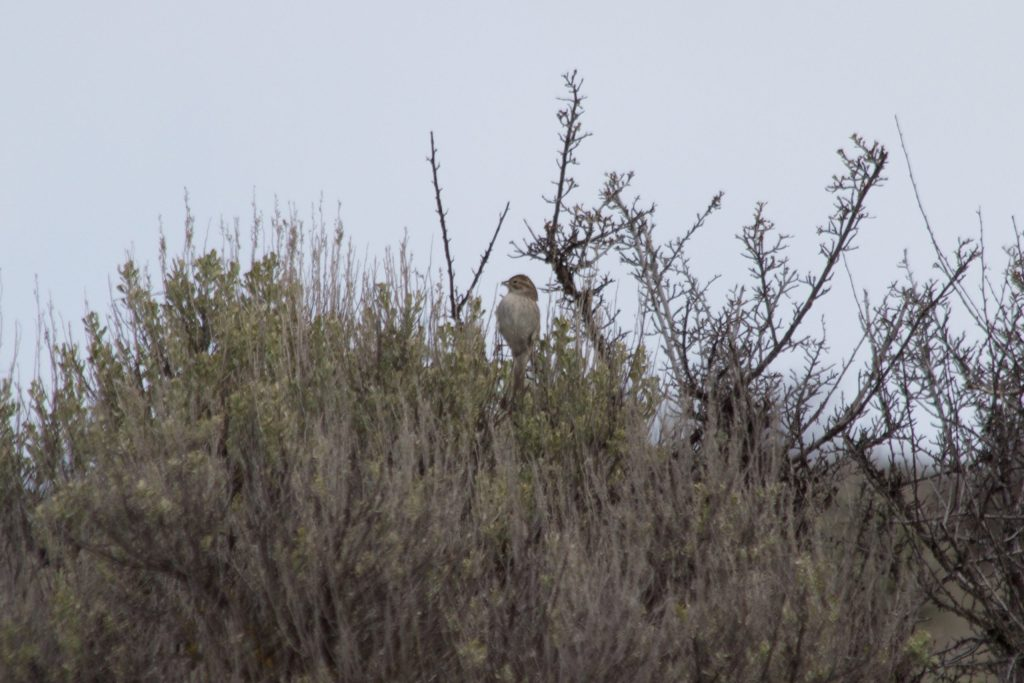 "A Brewer's Sparrow in Washington State's ""sagebrush sea"""