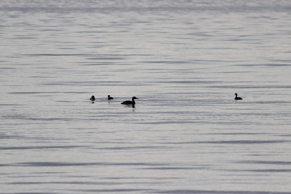 A Red-necked Grebe with 3 Horned Grebe at White Rock Pier
