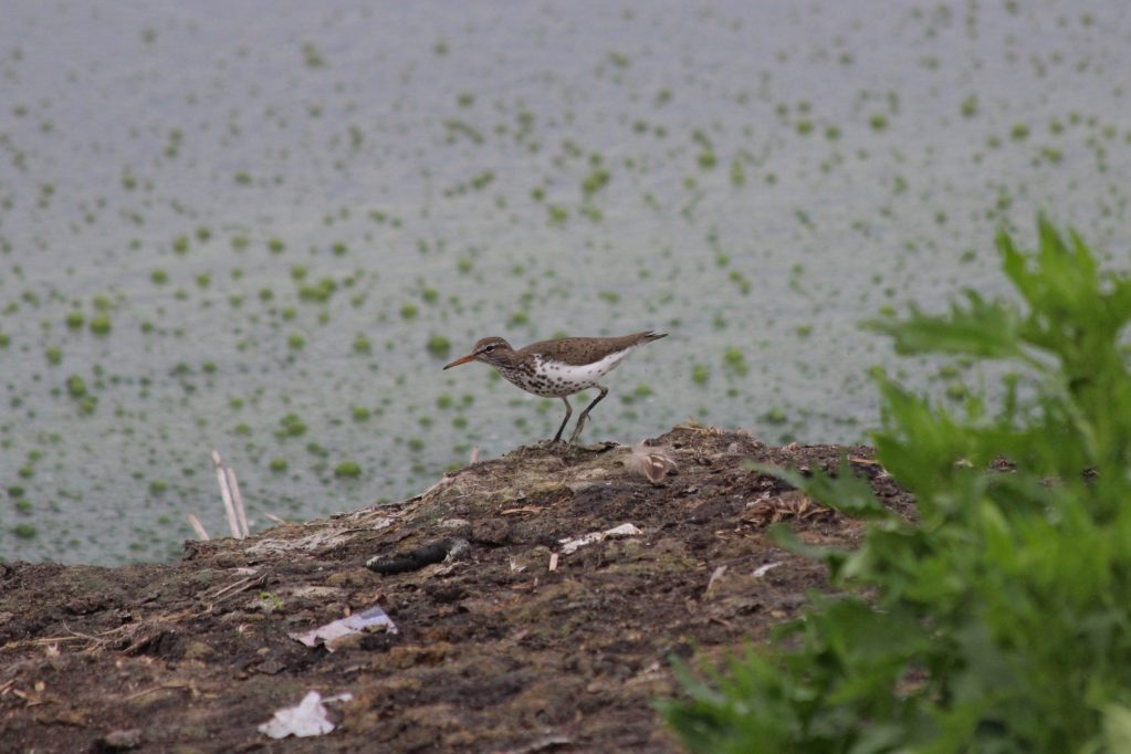 A Spotted Sandpiper in the inner ponds at Iona