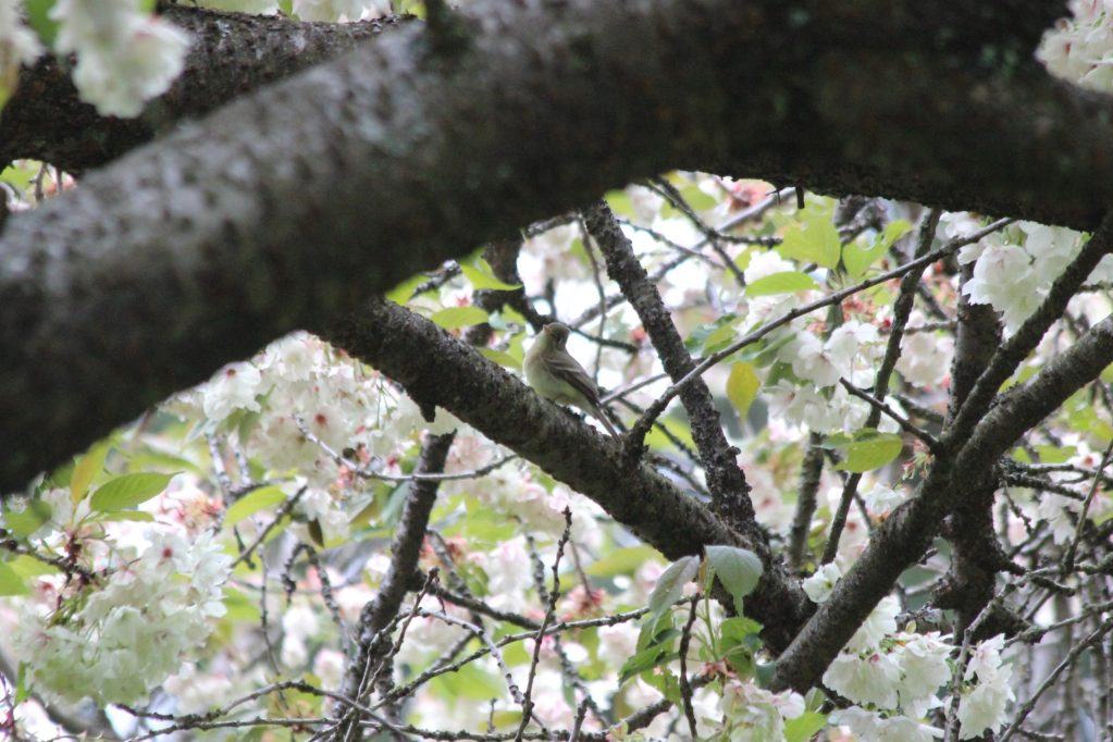 This Pacific-slope Flycatcher was sheltering under the cherry canopy at QE Park a few weeks ago.