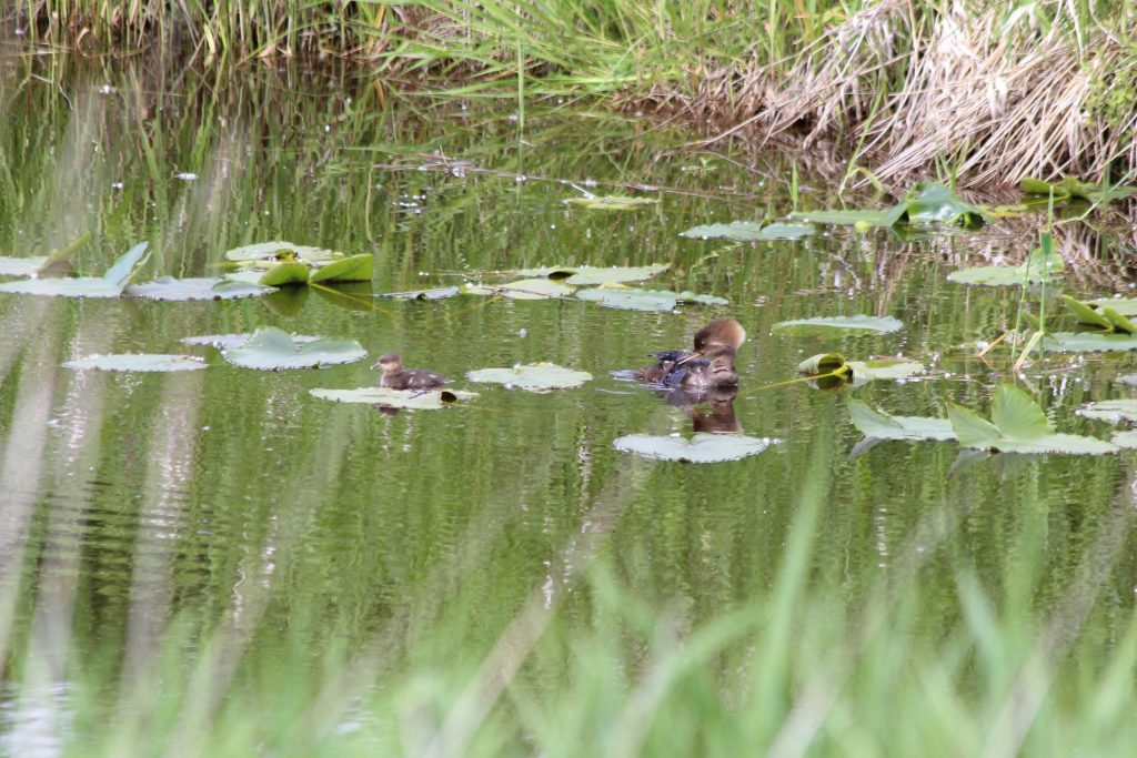 A mother and young Hooded Merganser at Colony Farm