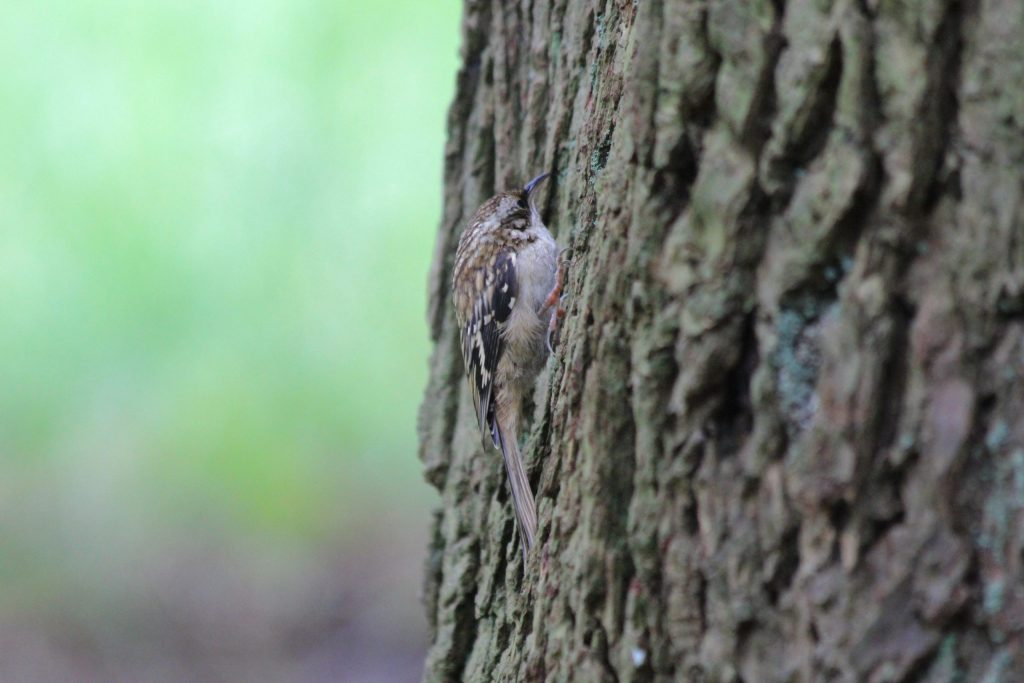 A Brown Creeper hiding under the coniferous canopy at QE