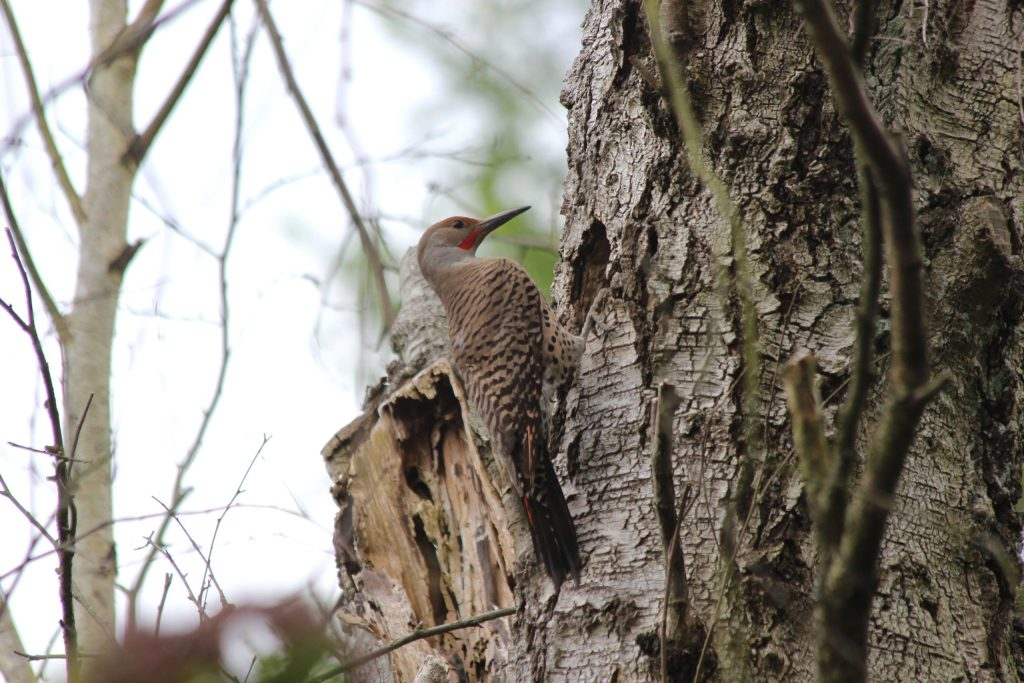 A Northern Flicker (Red-shafted) tending to the nest at QE
