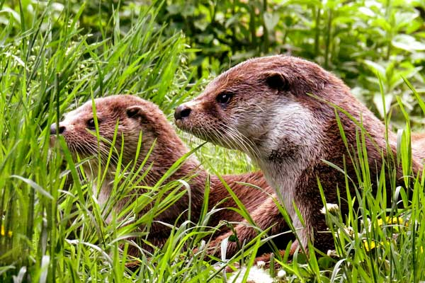 As promised, we will continue up the family tree of the toughest family on the block, the Mustelids.