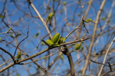 Leaves starting to unfold.