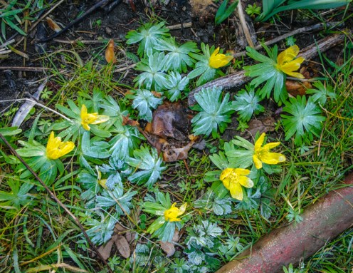 Frosty morning on the aconite flowers.