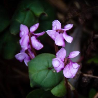 Tiny cyclamen flowers in rain.