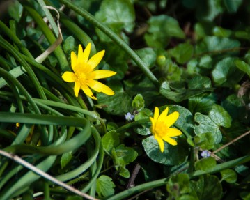 Lesser celandine can be used as a vegetable or a spice.