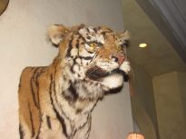 """Mounted tiger head on the wall of """"Kelly's"""" Bar."""