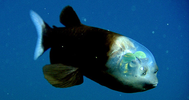 barreleye_fish