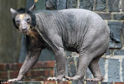 hairless_bears2