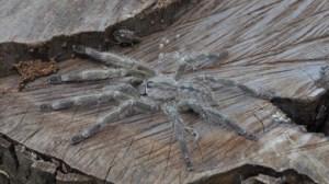 giant_tarantulaB