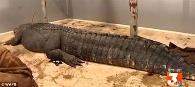 alligator_bigD