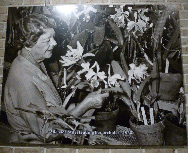 Adelaide Stifel orchids