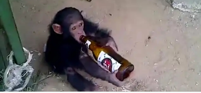 CONFUSION!! Monkey On Rampage, Attacked 250 Humans After Drinking Excessive Alcohol