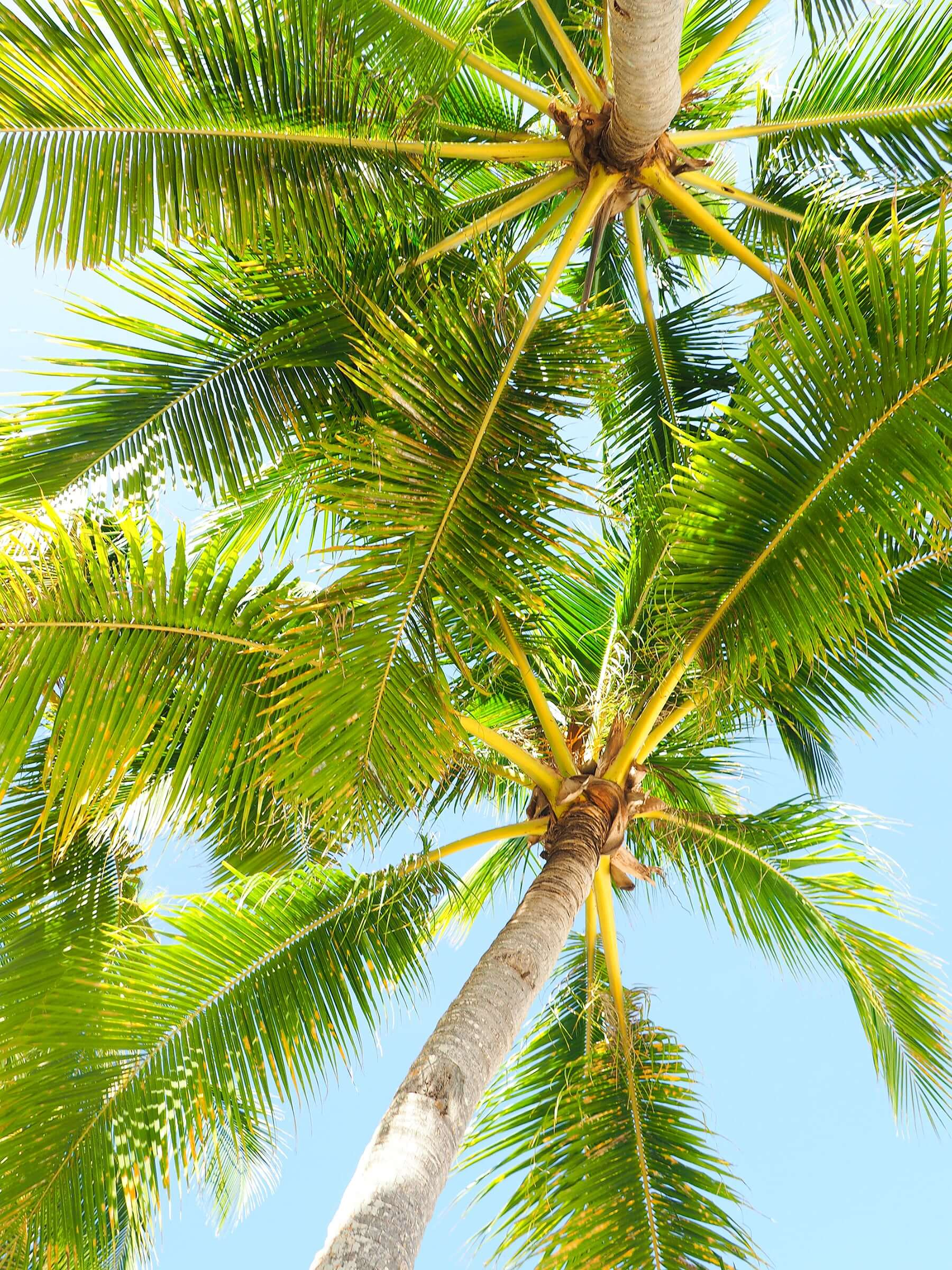 palm trees in philippines