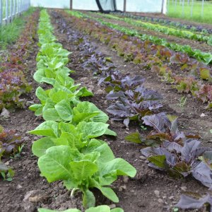 We Grow Lettuce